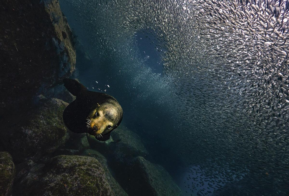foca bajo el agua