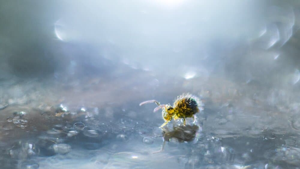 Yellow Globular Springtail