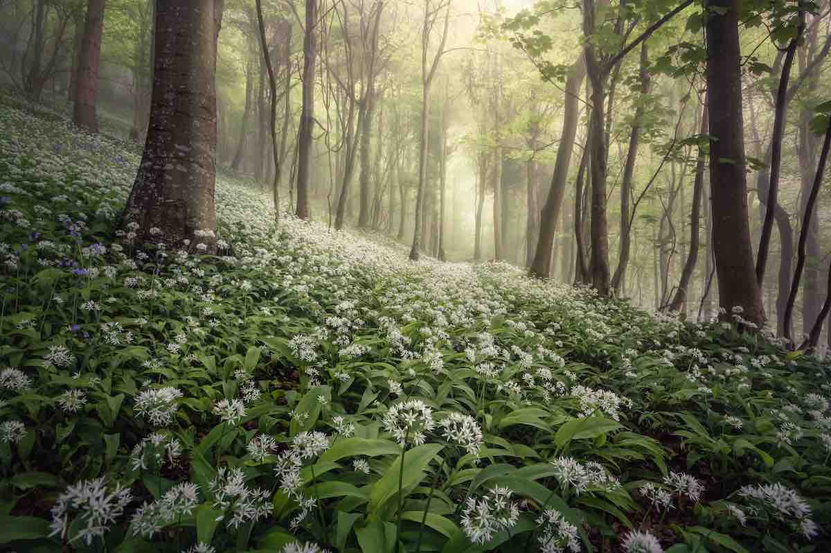 Wild garlic in Woolland Woods