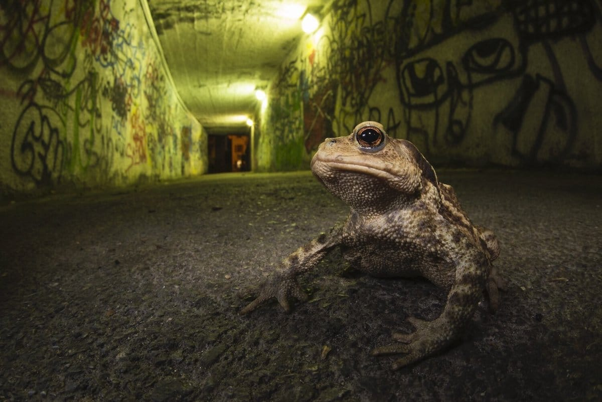 Close Up of a Frog in a Graffiti Laden Tunnel