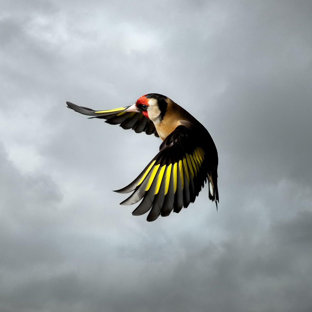 Gold Finch mark Harvey