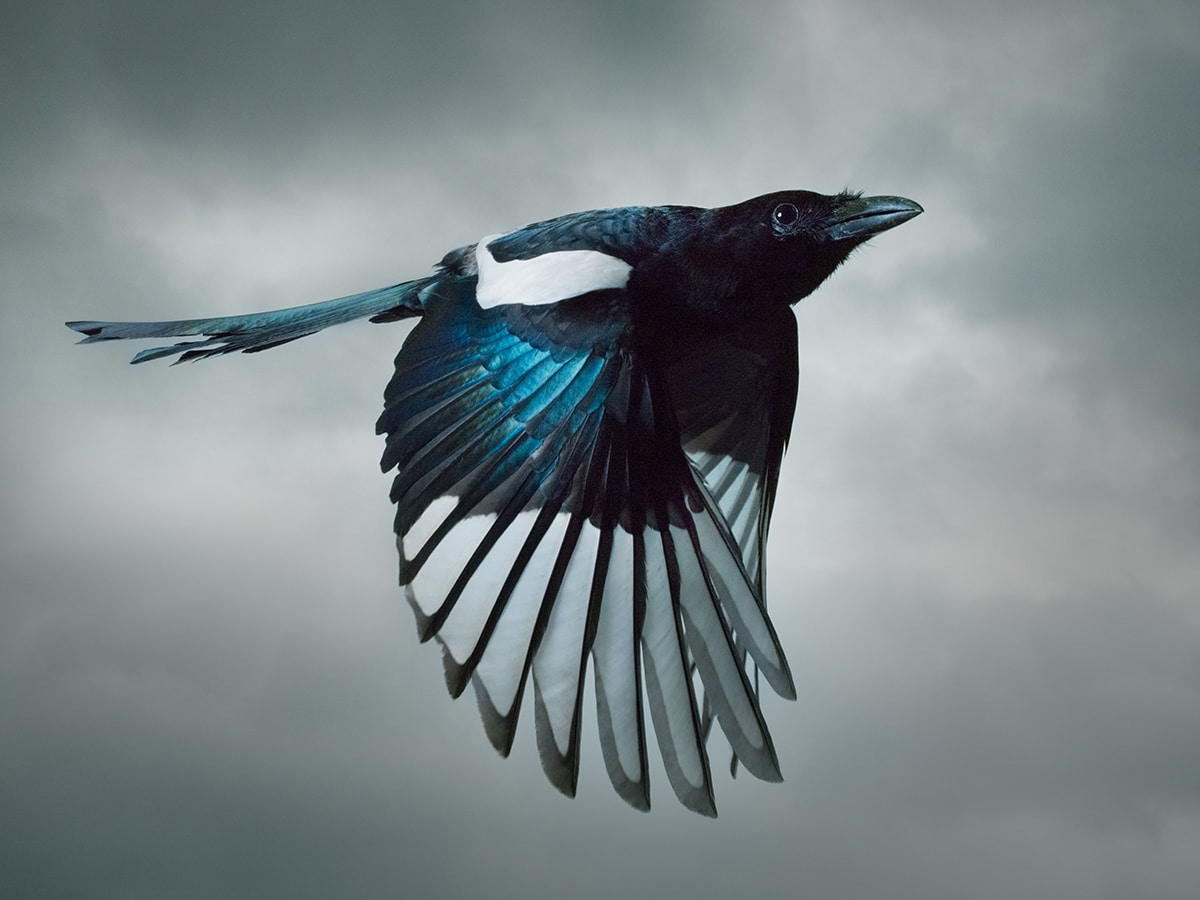 Mark Harvey Magpie