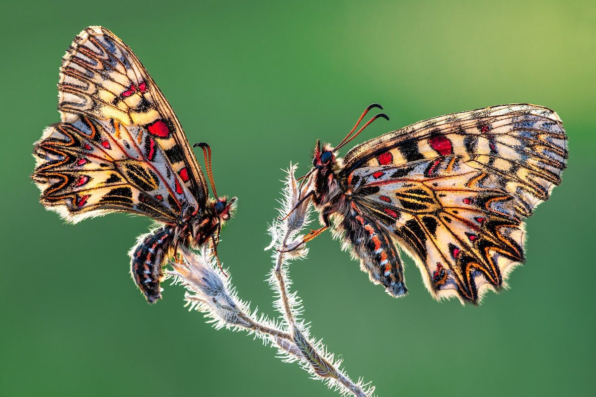 Two Eastern festoon butterflies