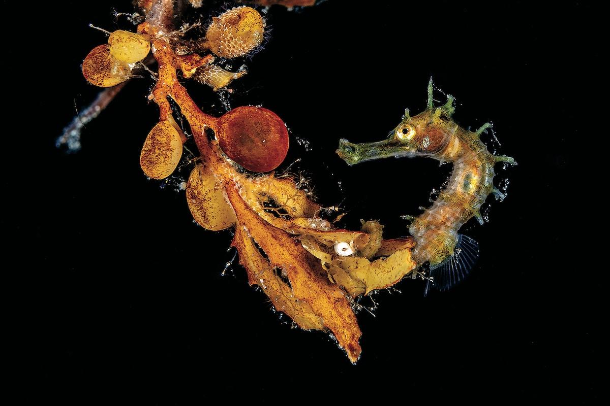 Seahorse on a Clump of Sargassum
