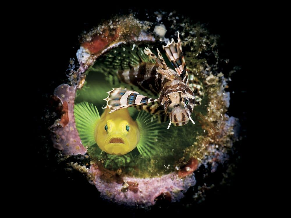 Lionfish and Lemon Goby Looking at the Camera