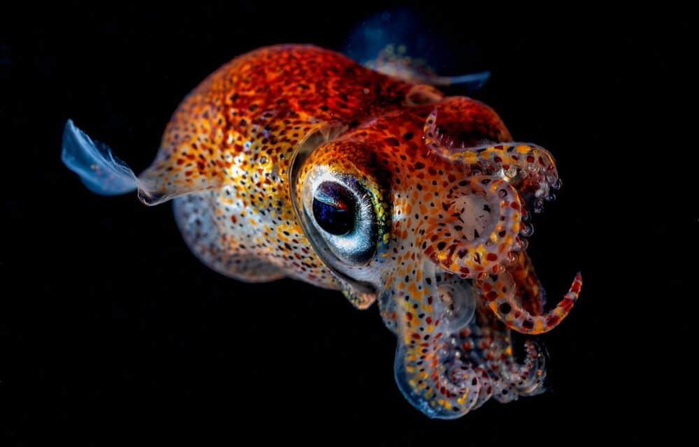 Cuttlefish - Sepiola birostrata