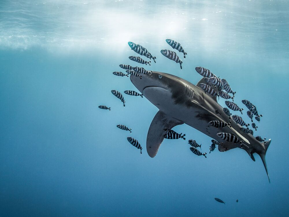 Whitetip Shark Surrounded by Fish