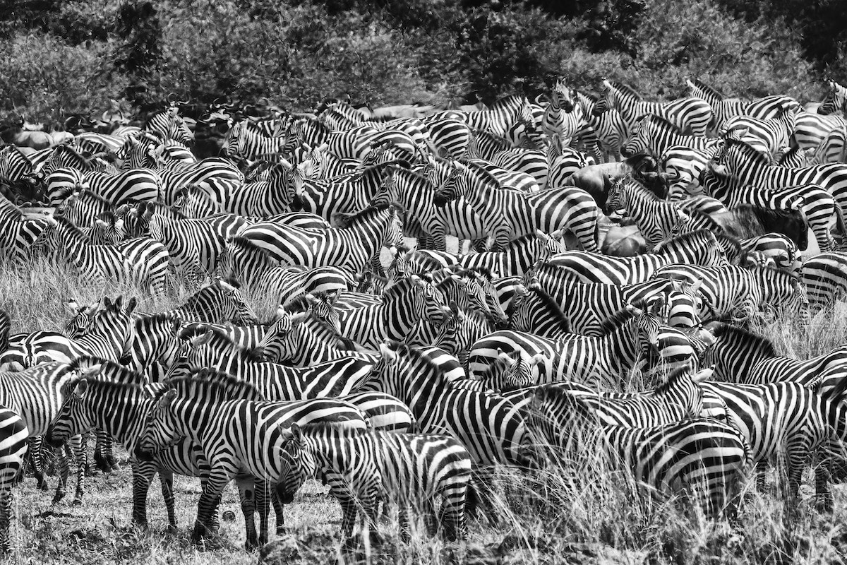 Black and White Photo of Zebras by Uri and Helle Løvevild-Golman