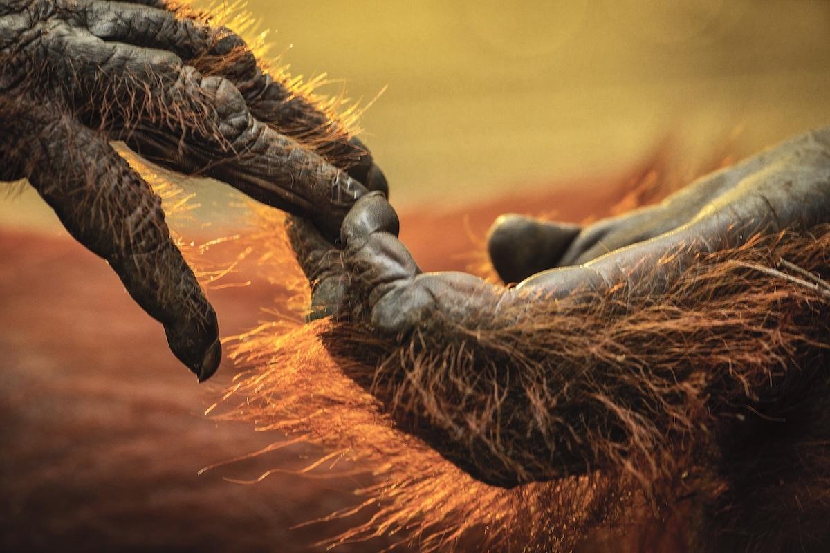 Gorillas Touching Hands by Uri and Helle Løvevild-Golman