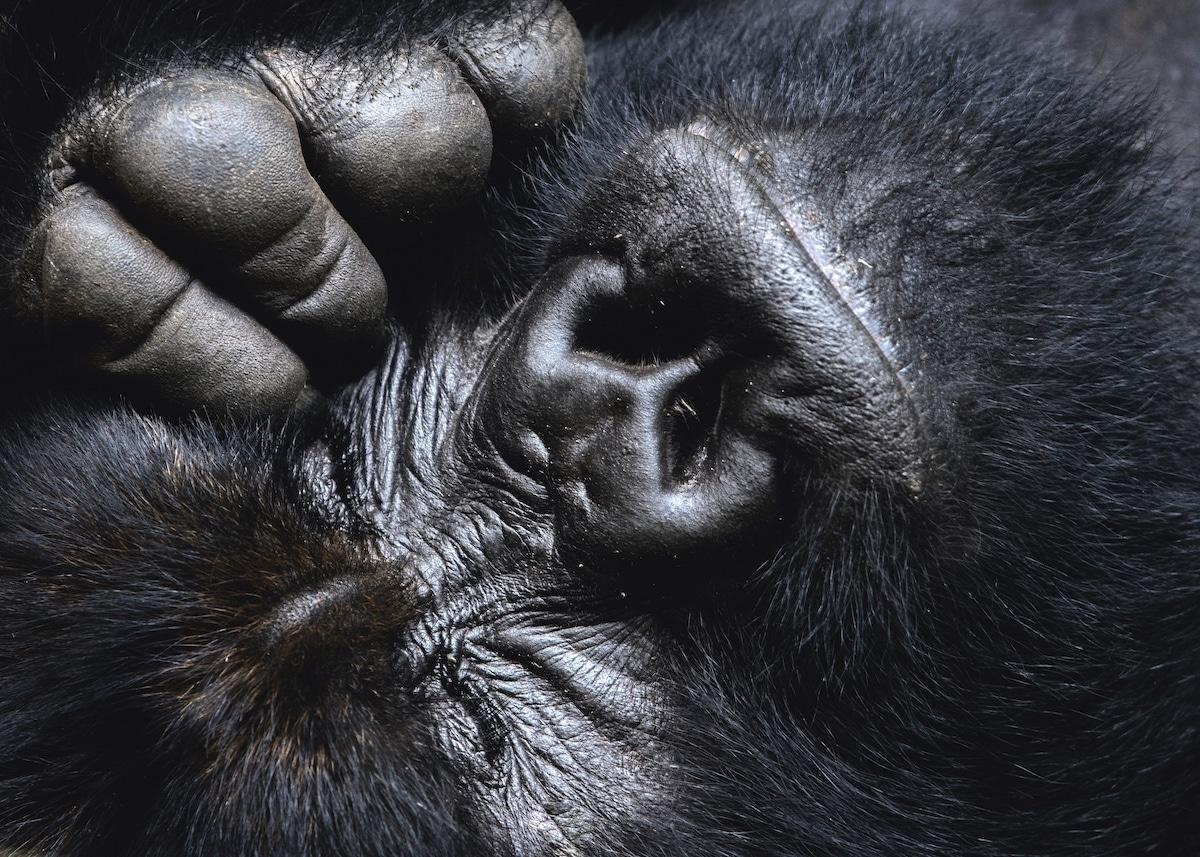 Gorilla by Uri and Helle Løvevild-Golman