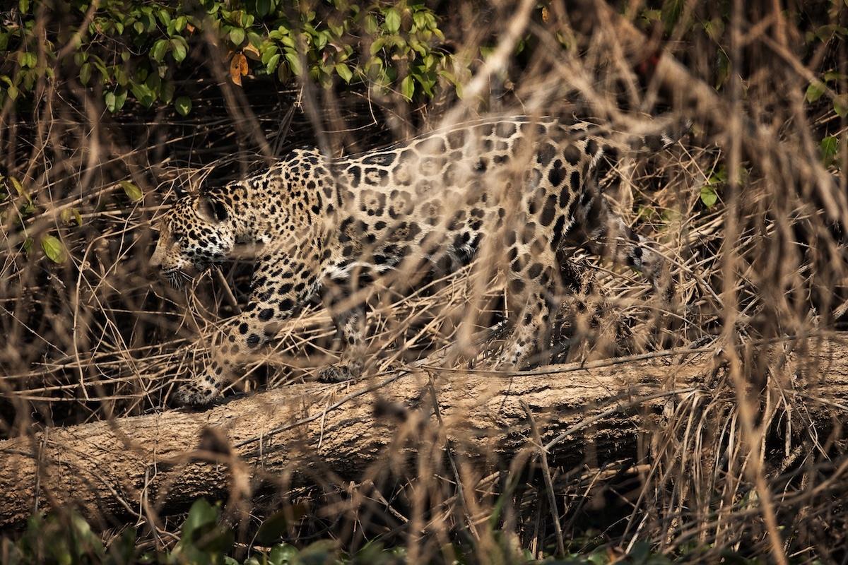 Leopard by Uri and Helle Løvevild-Golman