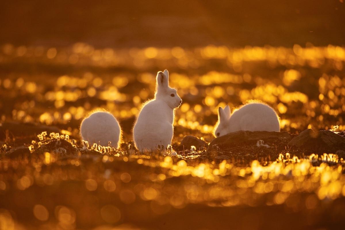 White Rabbits by Uri and Helle Løvevild-Golman