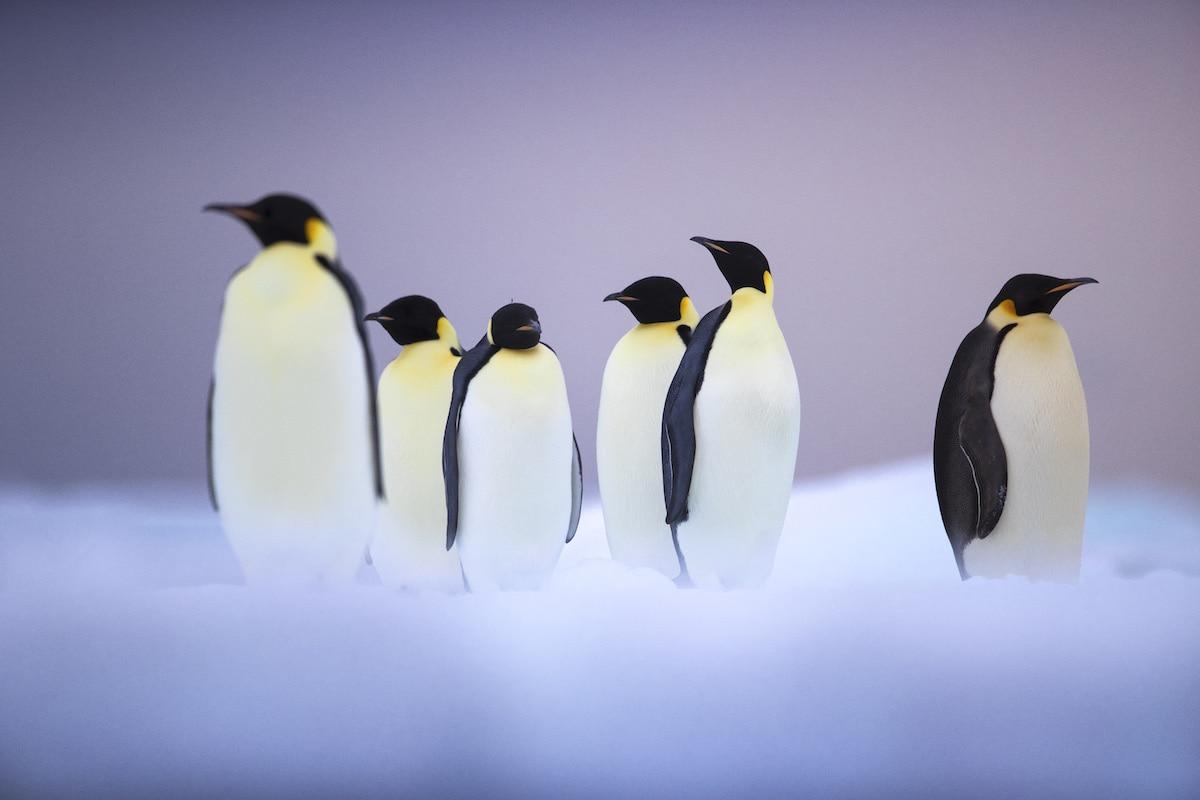 Penguins Uri and Helle Løvevild-Golman