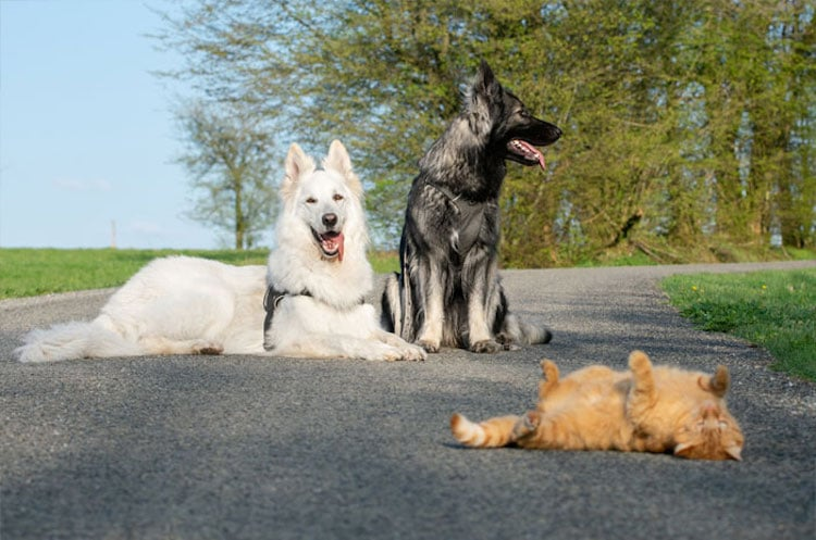 Dogs Raise Azmael the Rescue Cat