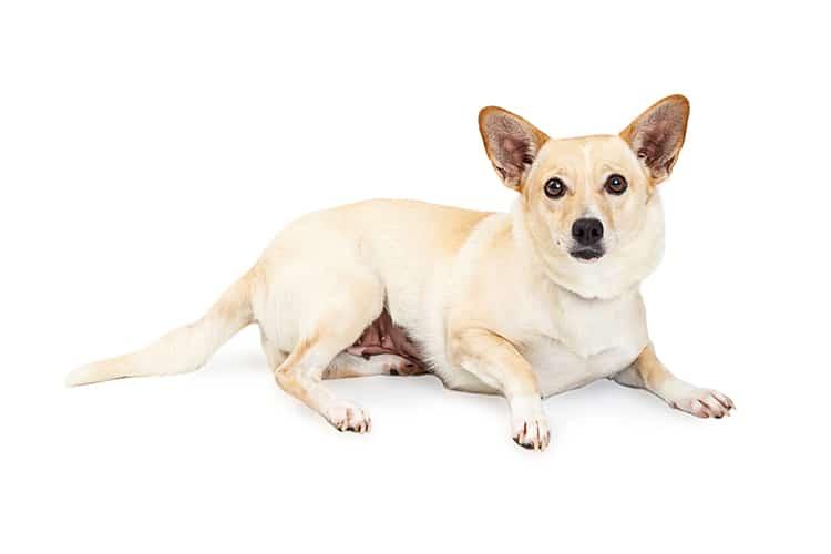 Chihuahua Corgi Mix