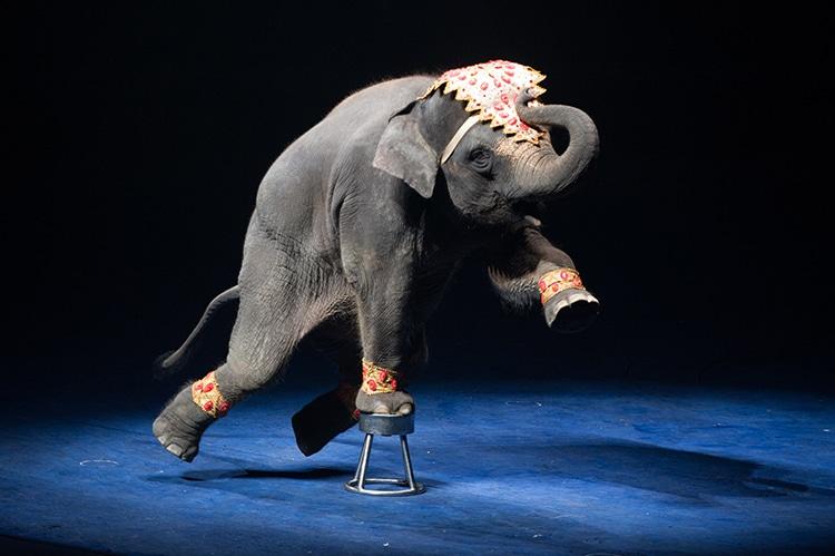Circus Elephant Animal Cruelty