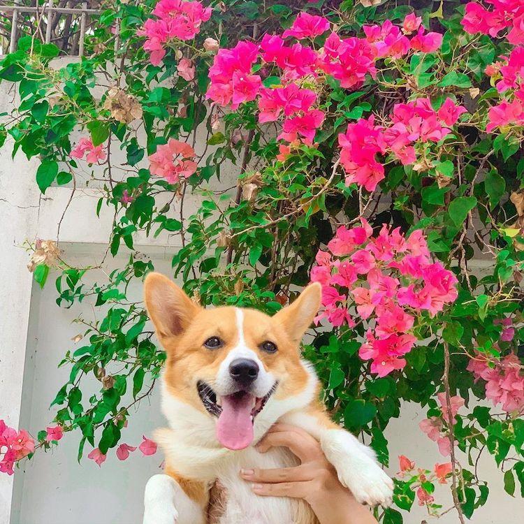 Cooper Corgi Dog