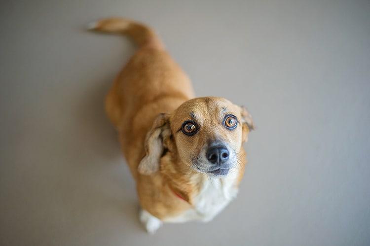 Corgi Beagle Mix Dog