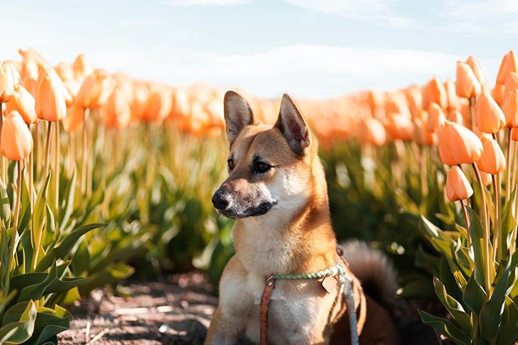 Corgi Shiba Inu Mix Dog Breed