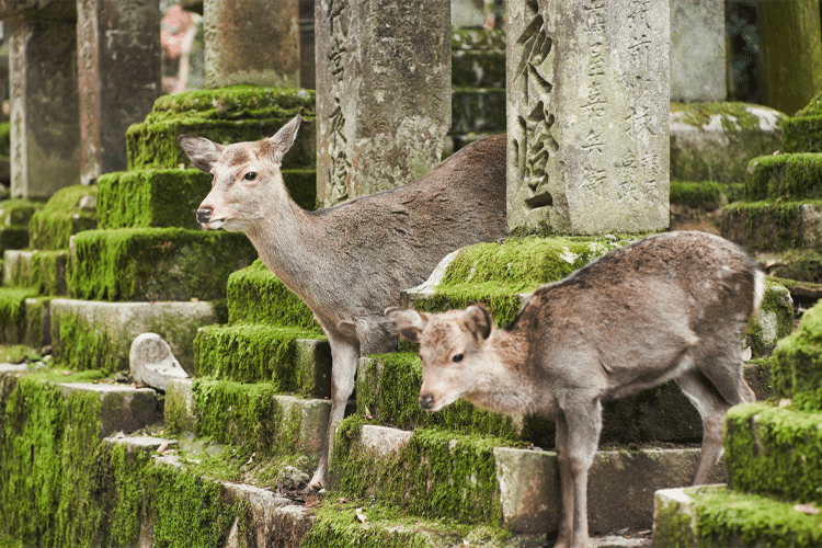 The Sacred Deer of Nara, Japan