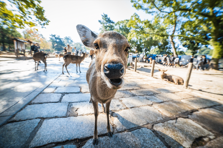 Deer in Nara, Japan Approaches Photographer