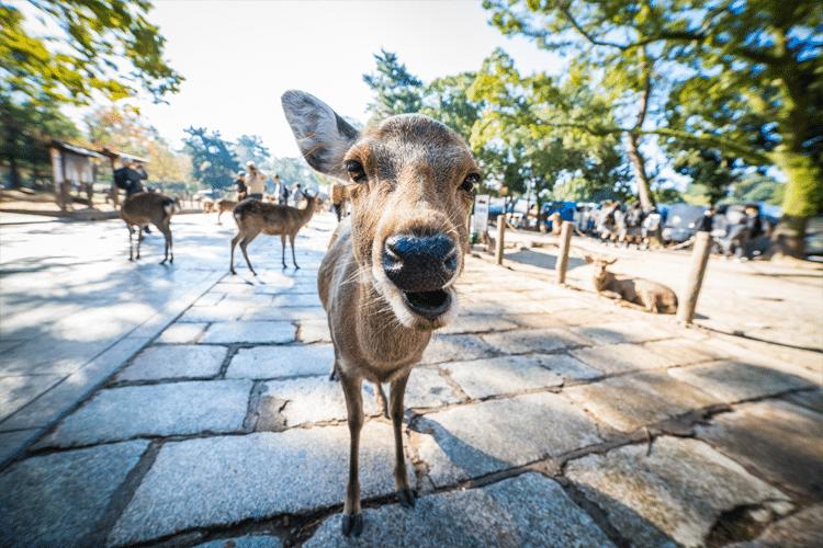 Ciervo de Nara, Japón se acerca a la cámara