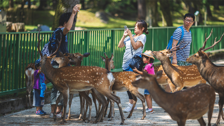Tourists Meet the Sacred Deer of Nara, Japan
