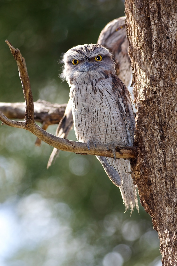 Tawny Frogmouth in a Tree