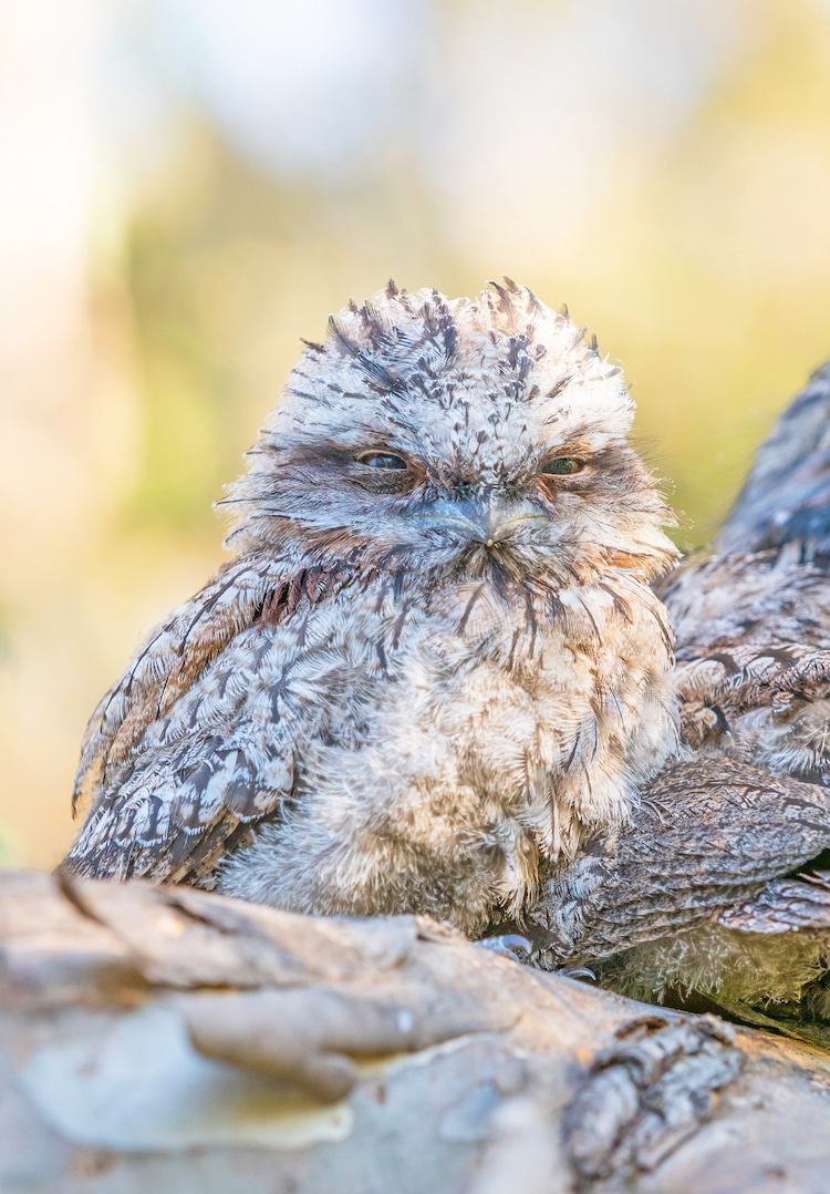 Young Tawny Frogmouth