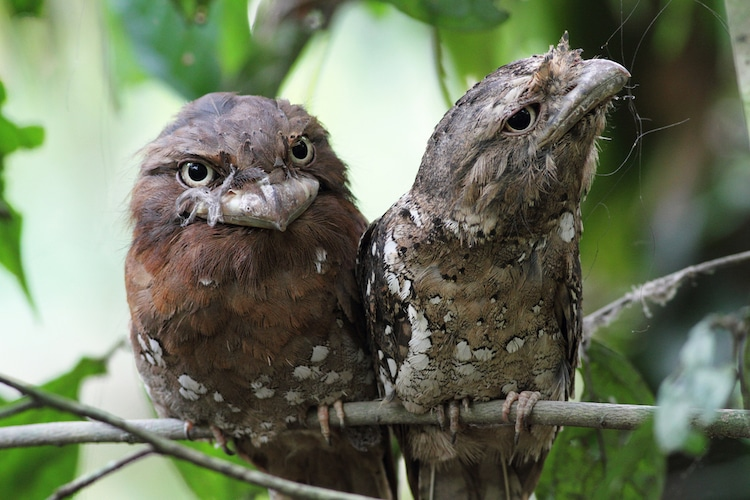 Pair of Sri Lankan Frogmouth