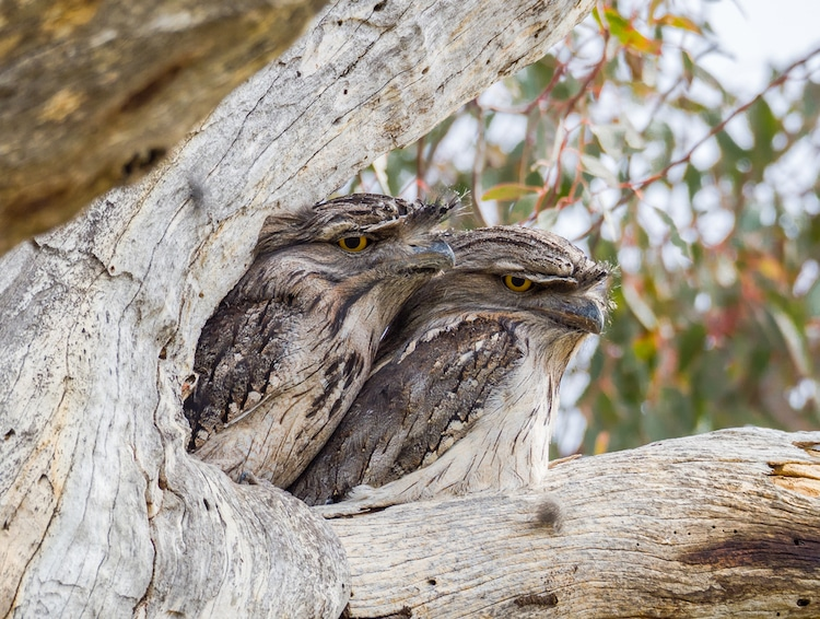 Two Tawny Frogmouths Nestled in a Tree