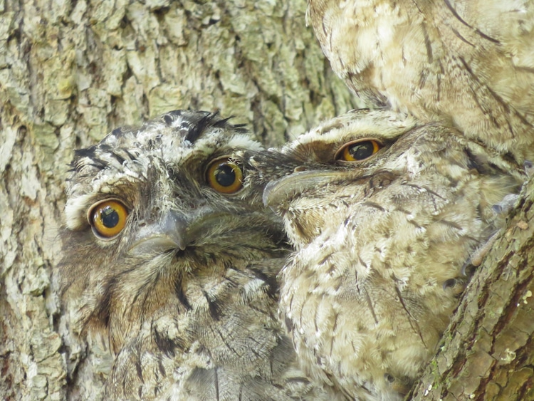 Tawny Frogmouths Blending Into a Tree