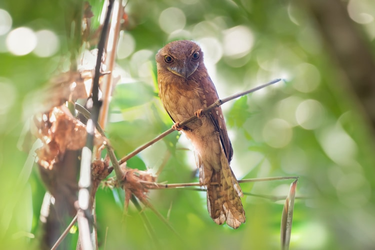 Gould's frogmouth in Thailand