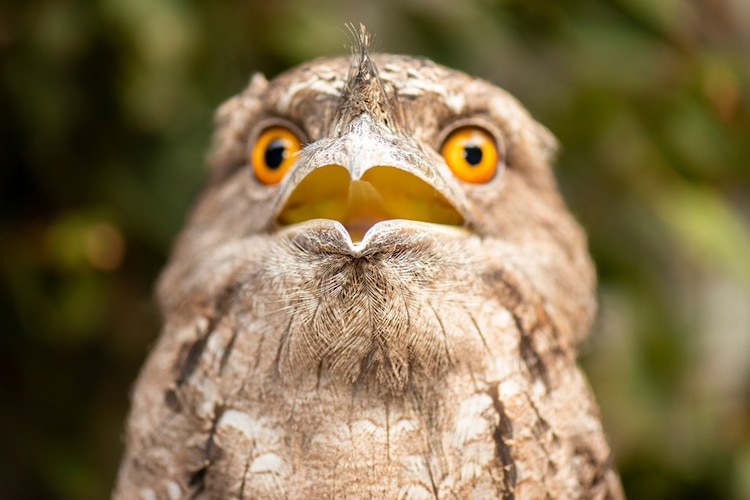 Close Up Portrait of a Tawny Frogmouth