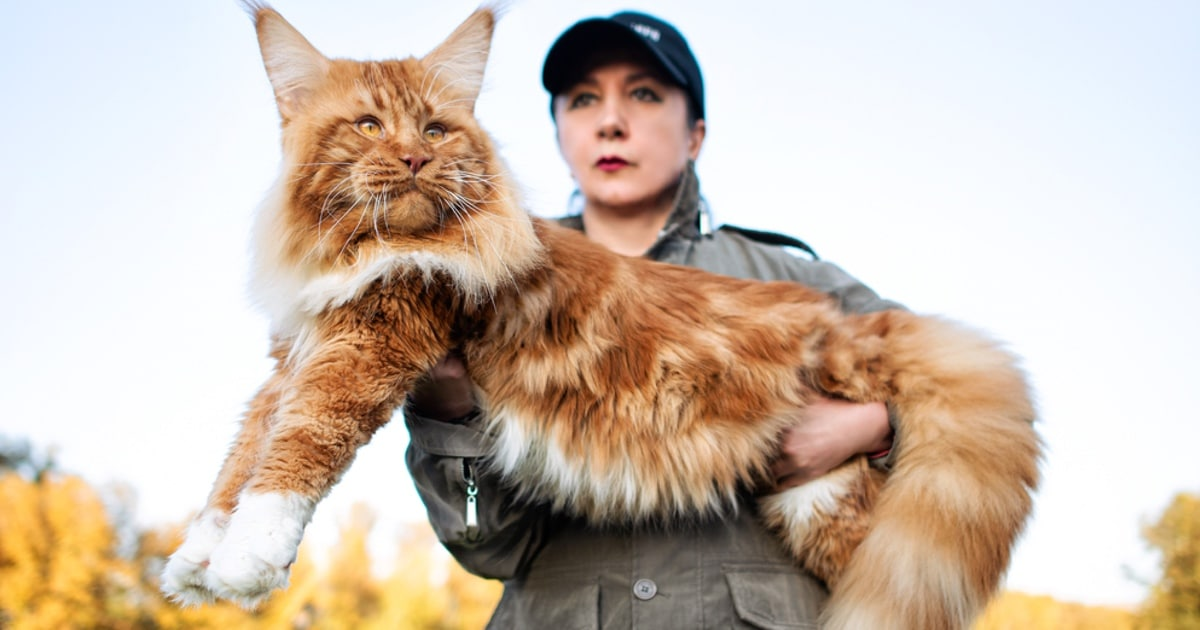 5 Fun Facts About Maine Coons The Gentle Giants Of The Cat World