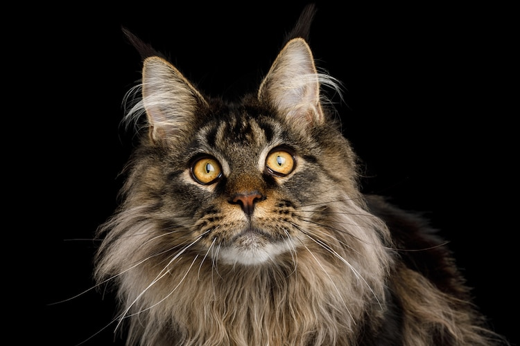 retrato de Maine Coon