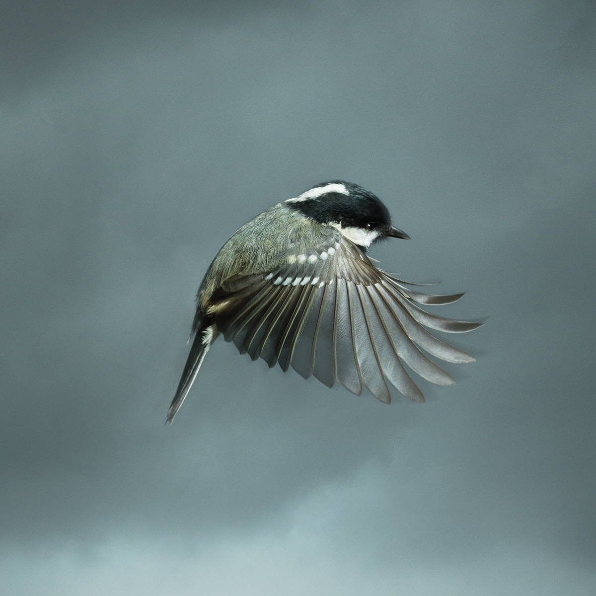 Photograph British Coal Tit Bird In Flight