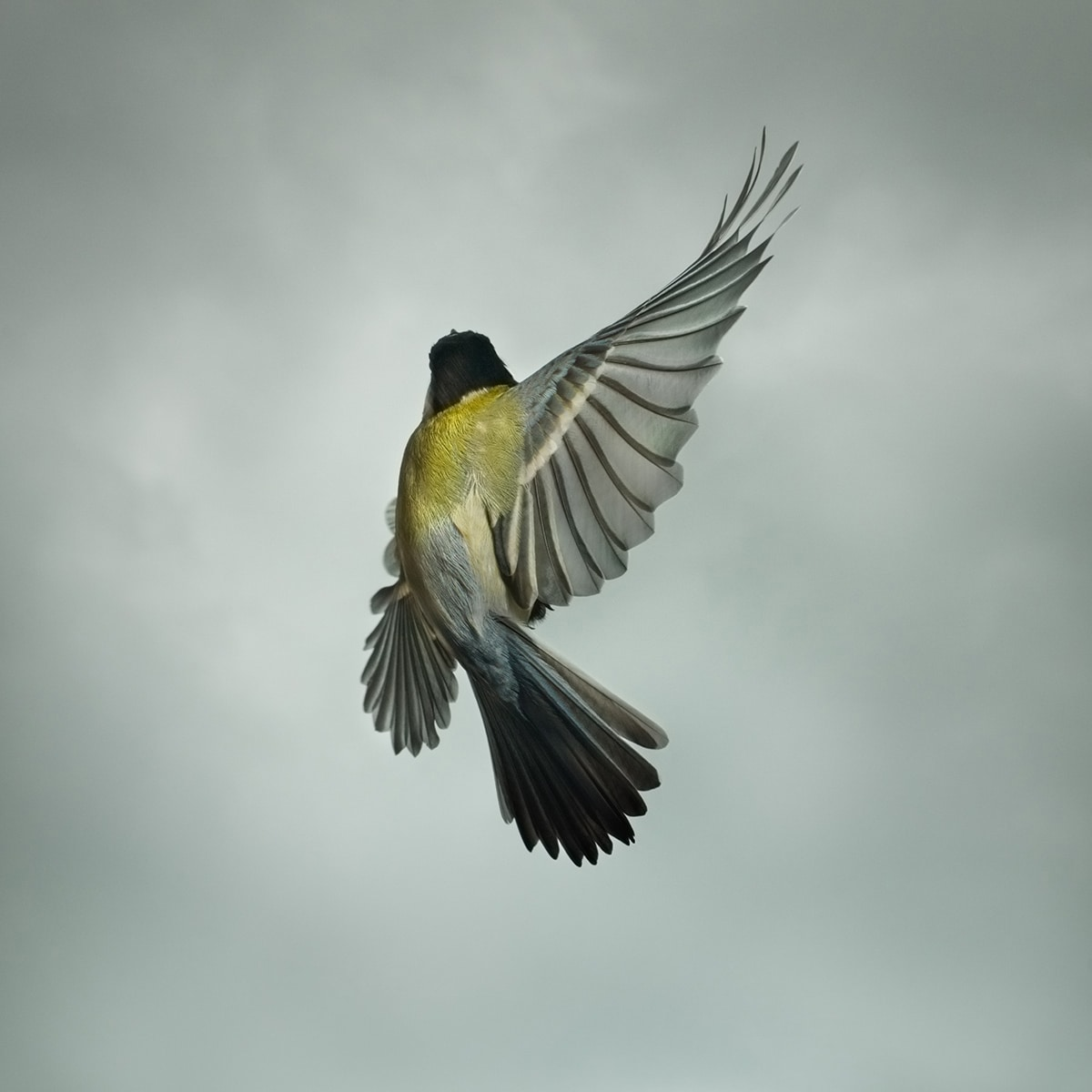 Mark Harvey Great Tit