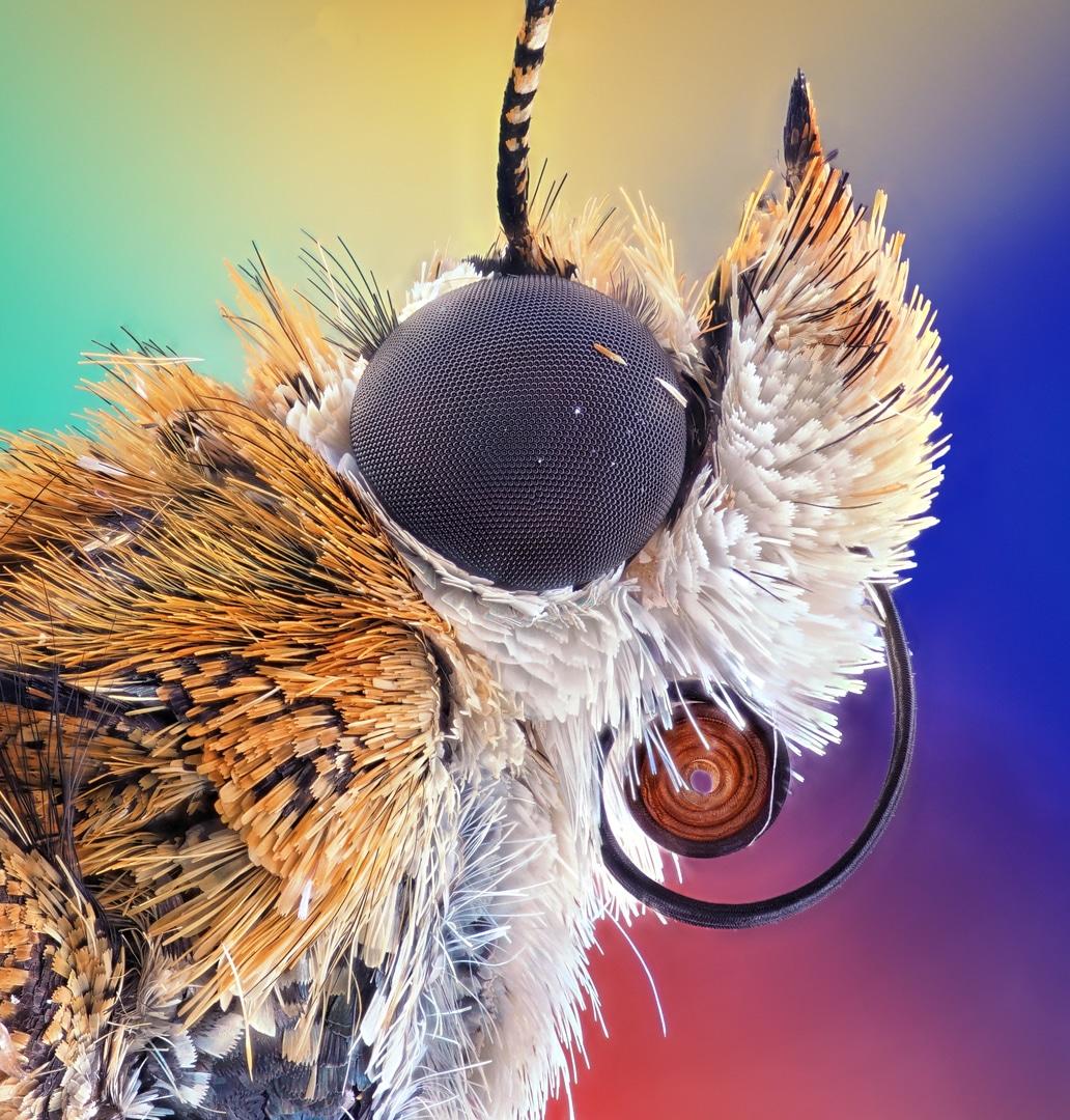 Bogong moth Close Up