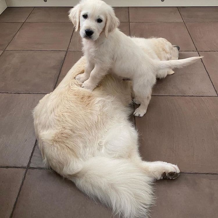 Tao the Blind Golden Retriever and Oko the Puppy
