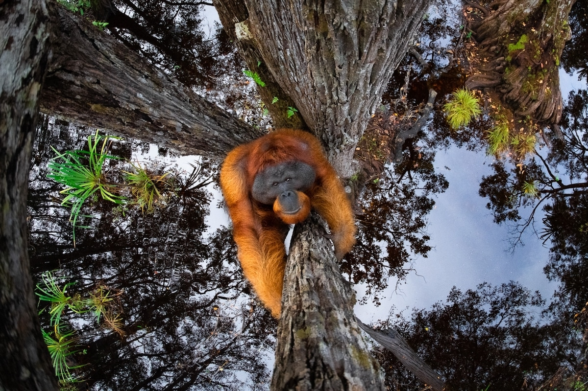 Male Bornean Orangutan (Pongo pygmaeus) in a Tree