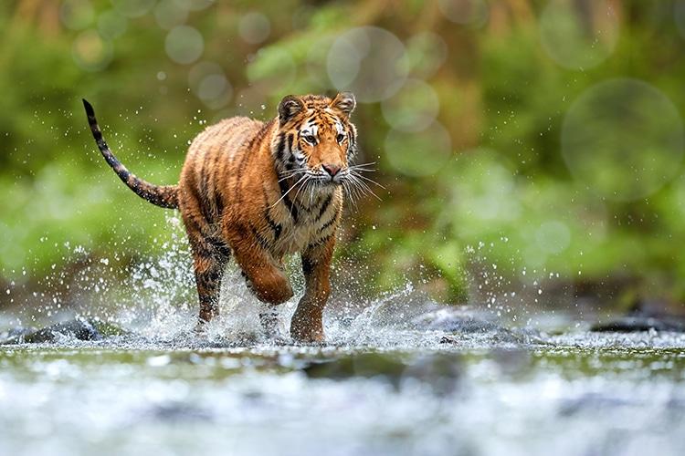 Tiger Running Free