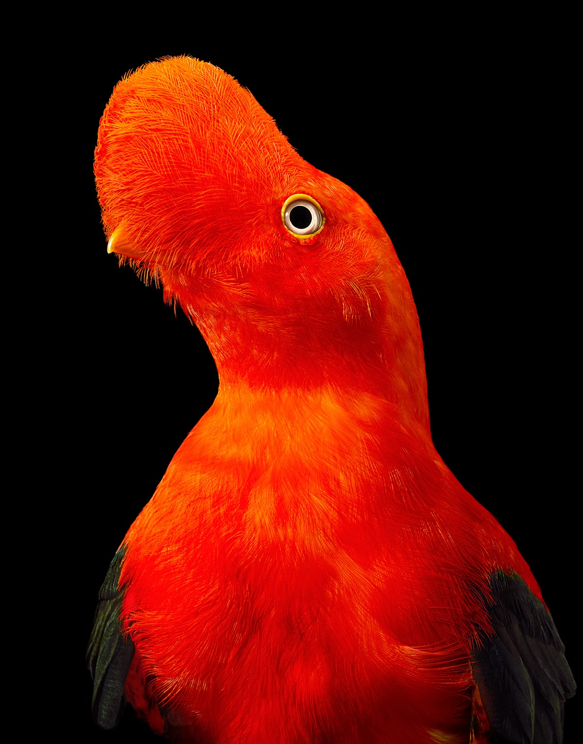 Andean Cock of the Rock Tim Flach