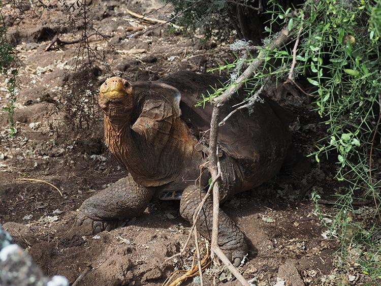 Diego Galapagos Tortoise