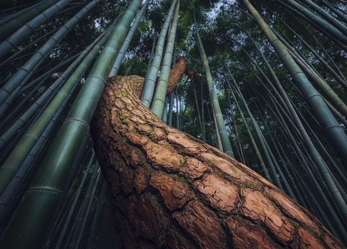 Árbol creciendo alrededor del bambú en un bosque