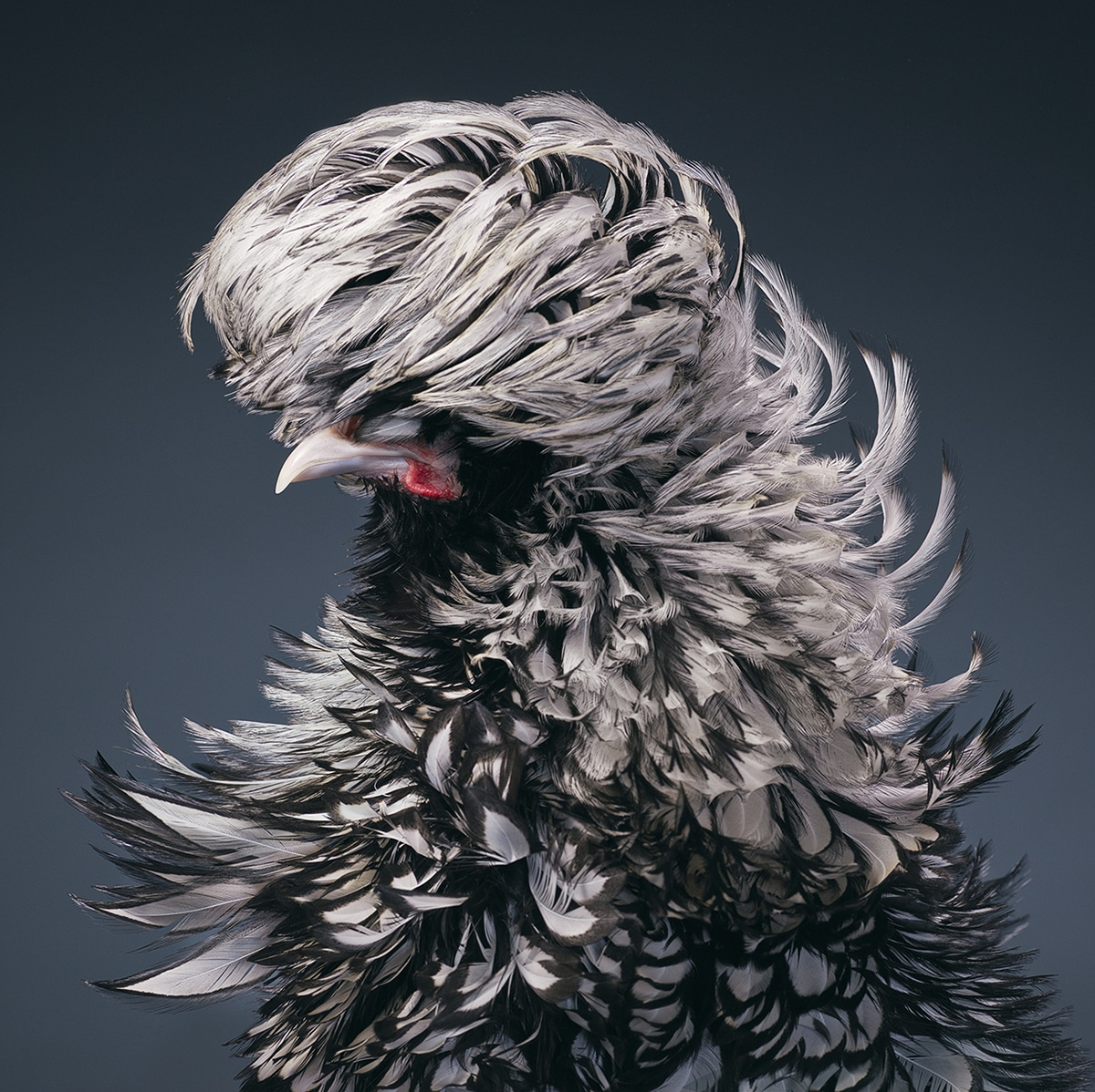 Polish Silver-Laced Frizzle Rooster Tim Flach Bird Photography