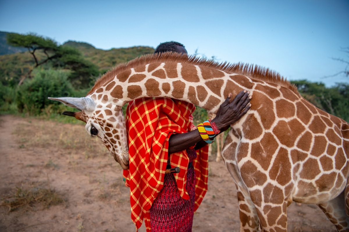 Reticulated Giraffe Nuzzling a Wildlife Keeper