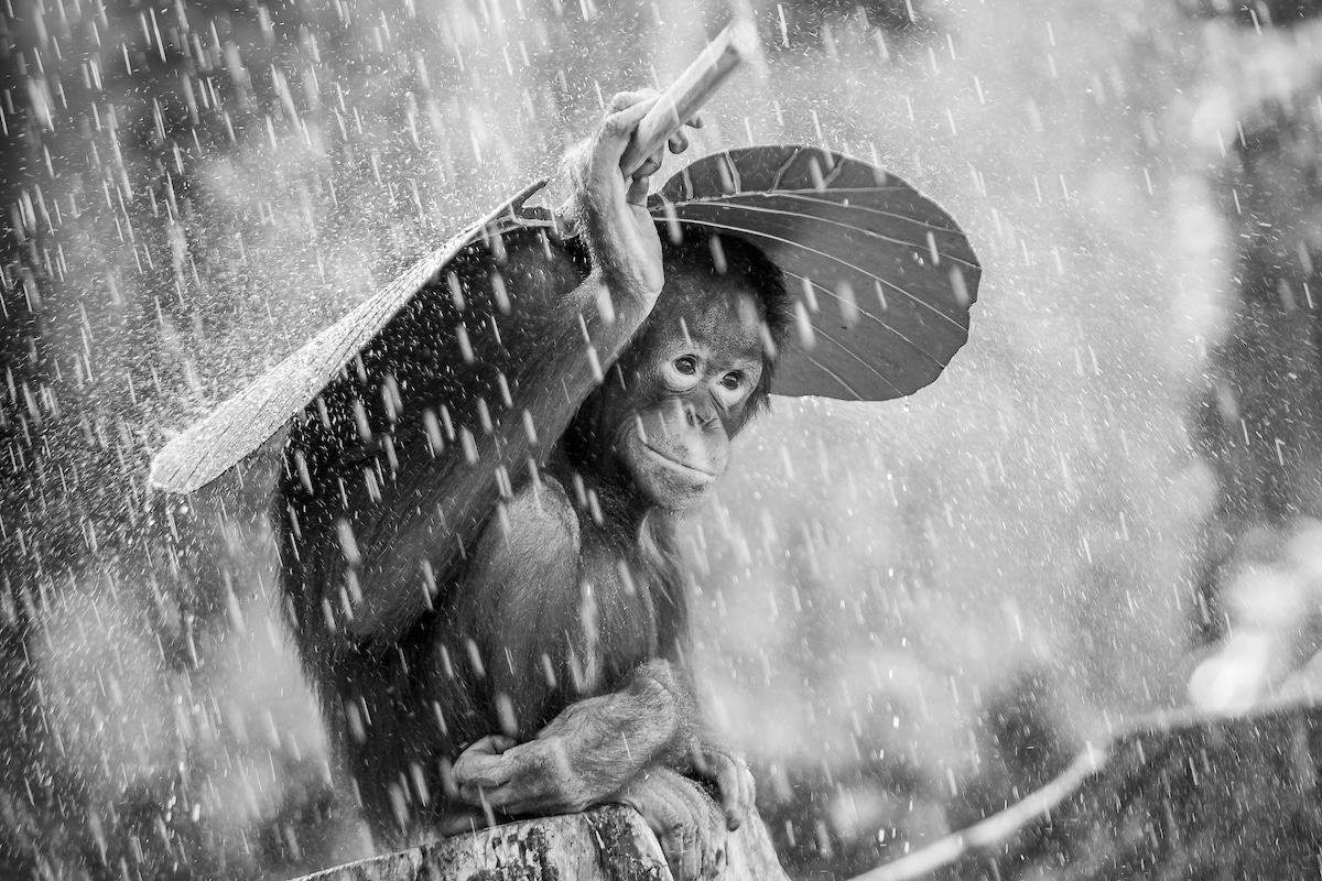 Black and White Portrait of an Orangutan Under the Rain