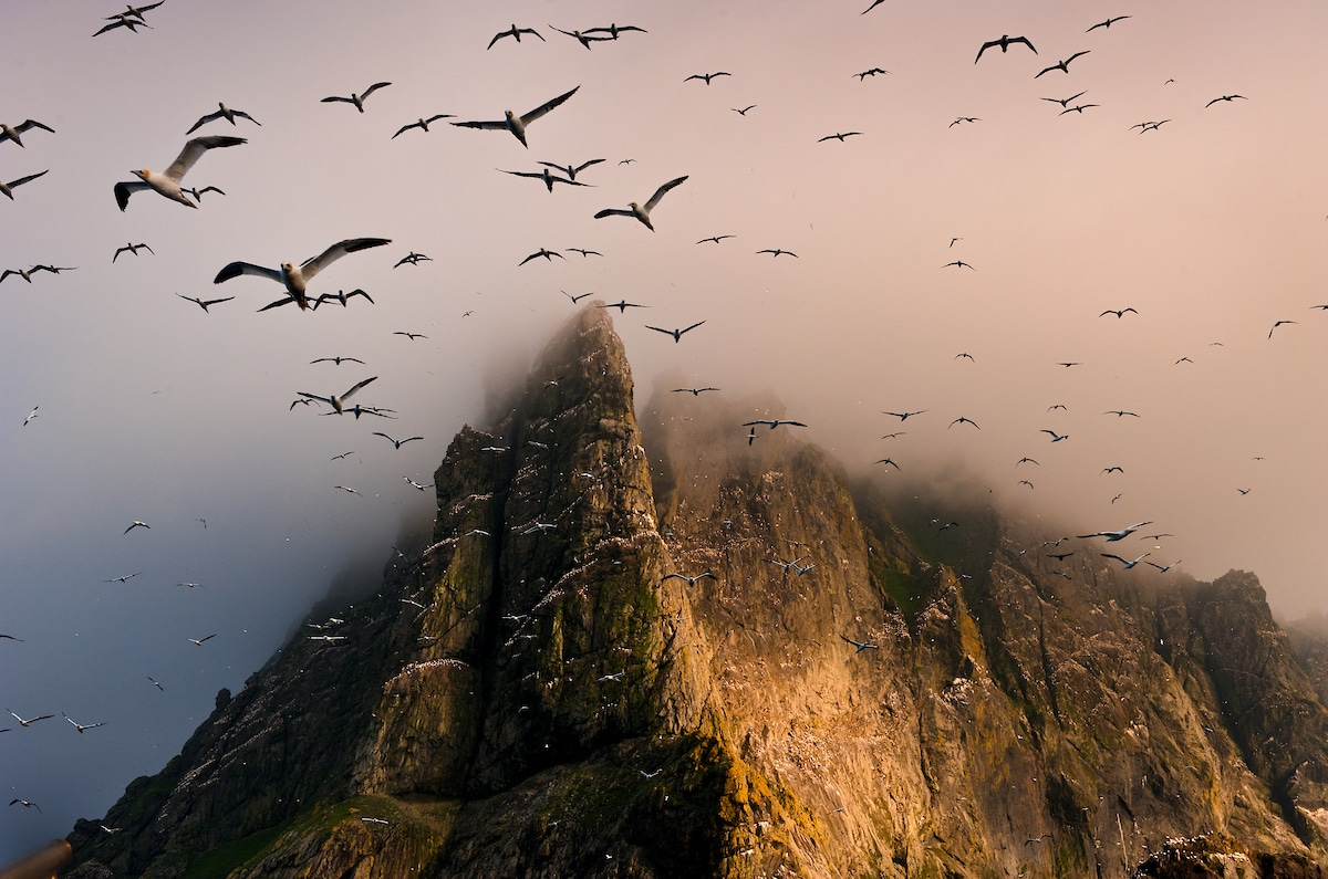 Gannets nesting on Boreray in St. Kilda