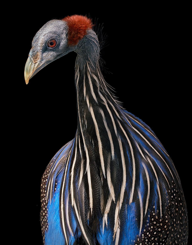 Vultrurine Guineafowl Bird Portrait